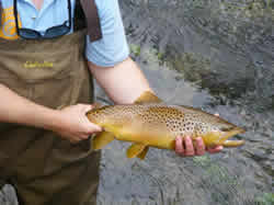 Wild Brown Trout from Big Brown Trout Summer and Fall Rains at www.flyfisher.com