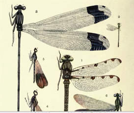 Dragon Flies from Classic Fly Fishing Books at flyfisher.com