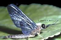 Isonychia mayfly by Eugene Macri